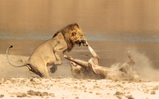 Joro Experiences Through A Lens A Lion Skirmish