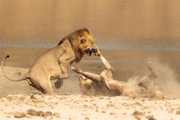 Joro Experiences Through A Lens A Lion Skirmish