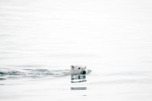 Joro Experiences Climate Emergency Polar Bear Swimming